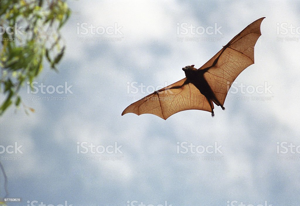 fruit bat in flight (high resolution file) stock photo