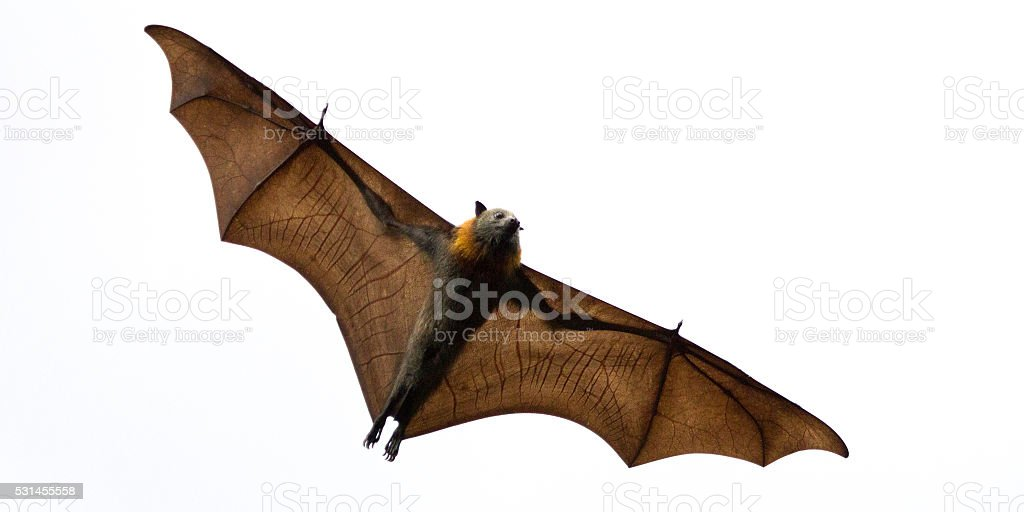 Fruit Bat Isolated on White stock photo