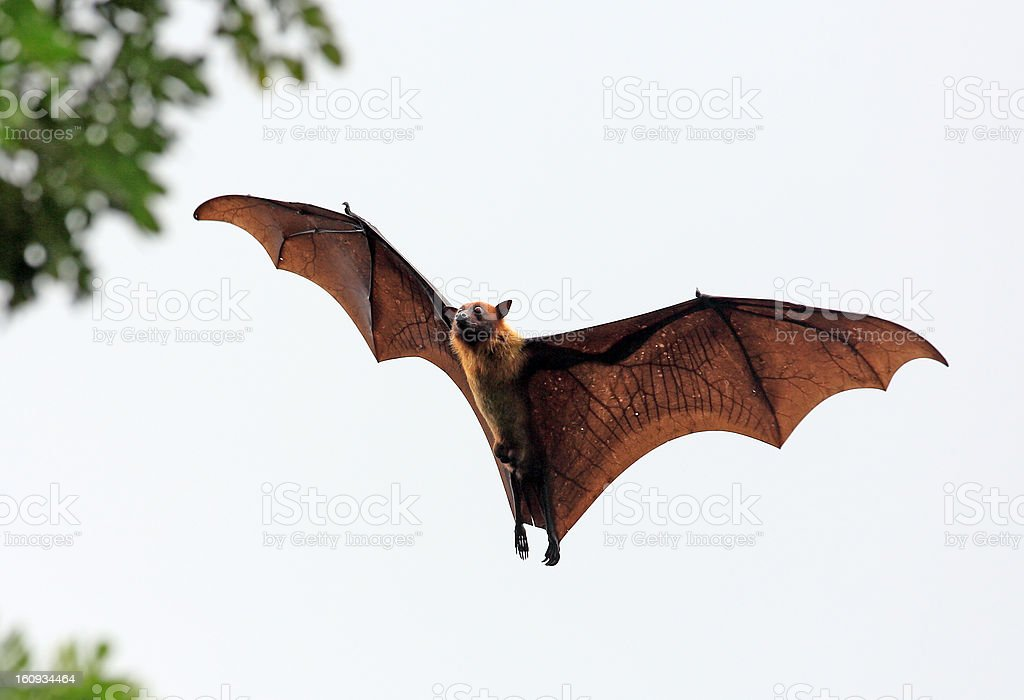 Fruit bat (flying fox) landing in tree stock photo