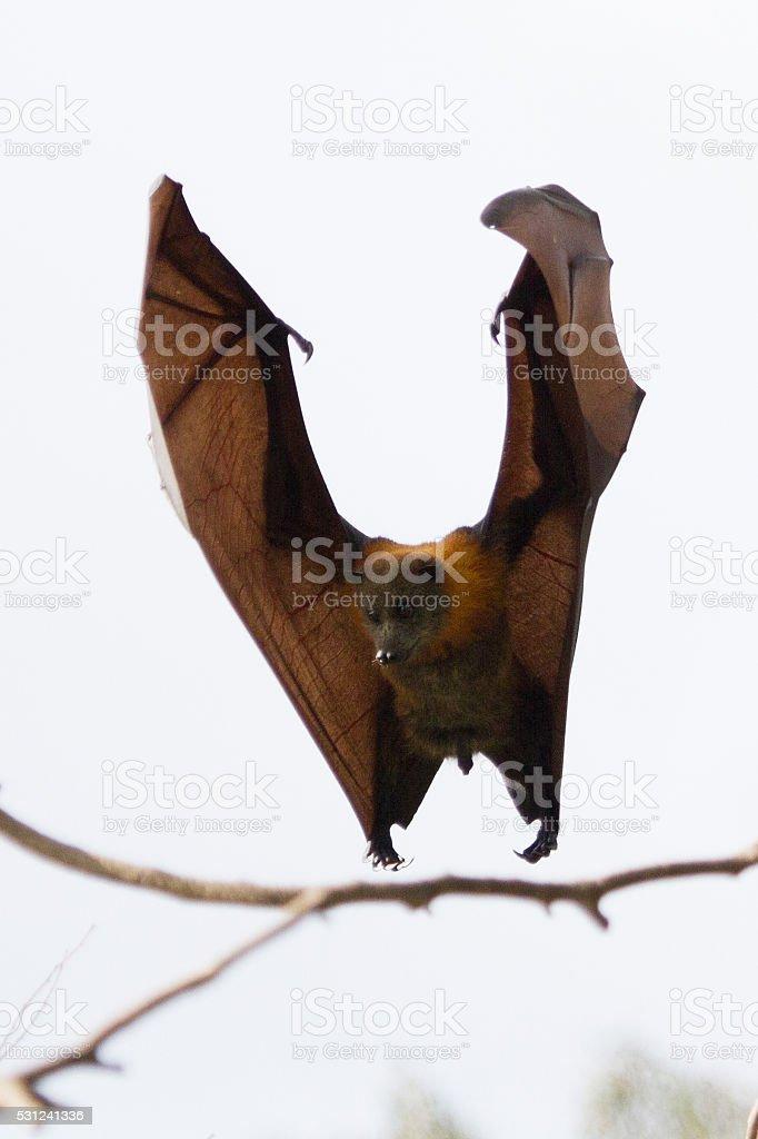 Fruit Bat Landing stock photo