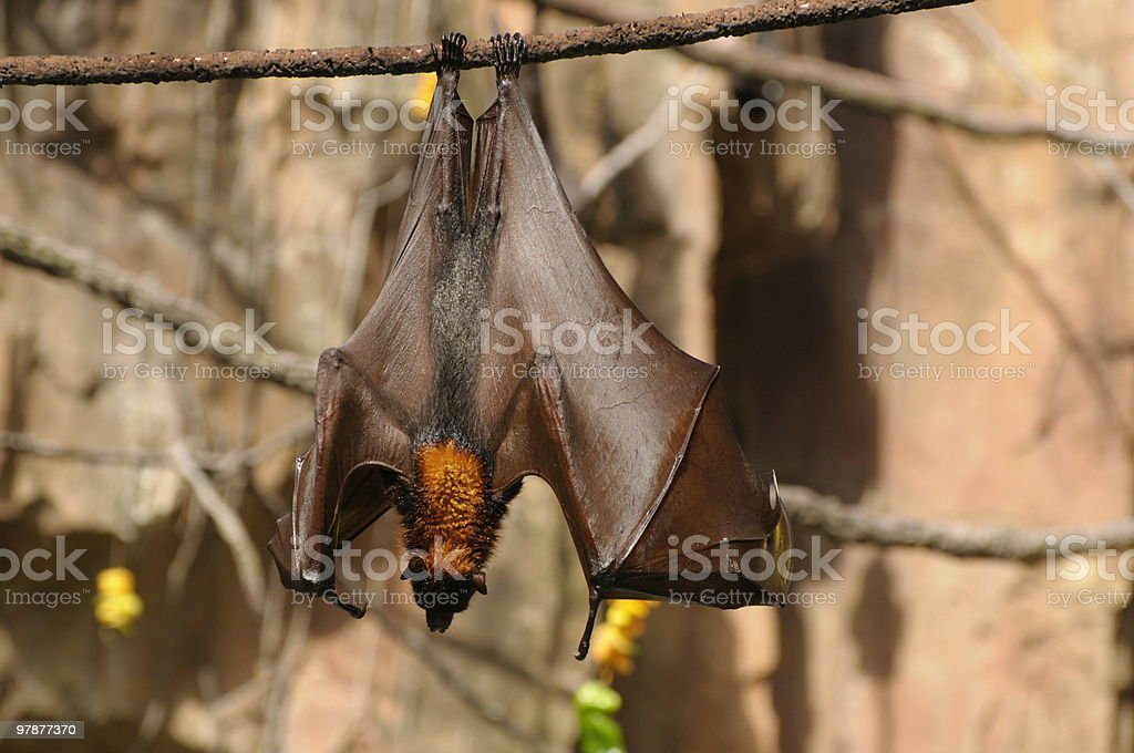 Fruit Bat royalty-free stock photo