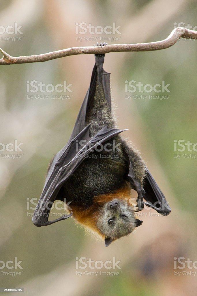 Fruit Bat Scratching stock photo