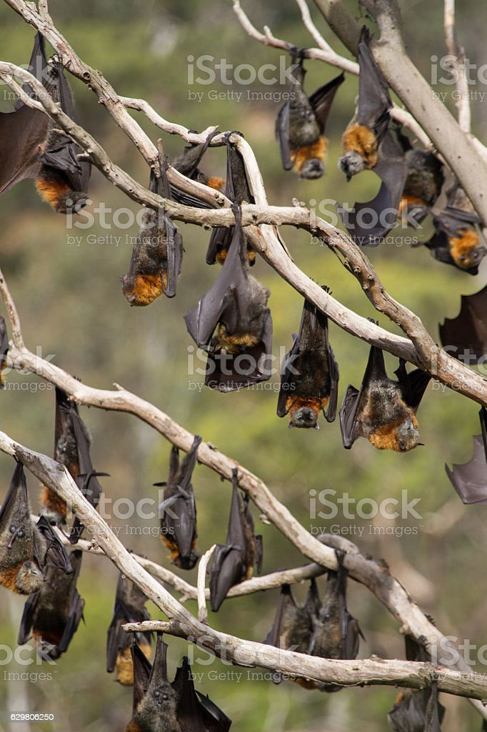 Fruit Bats Everywhere stock photo