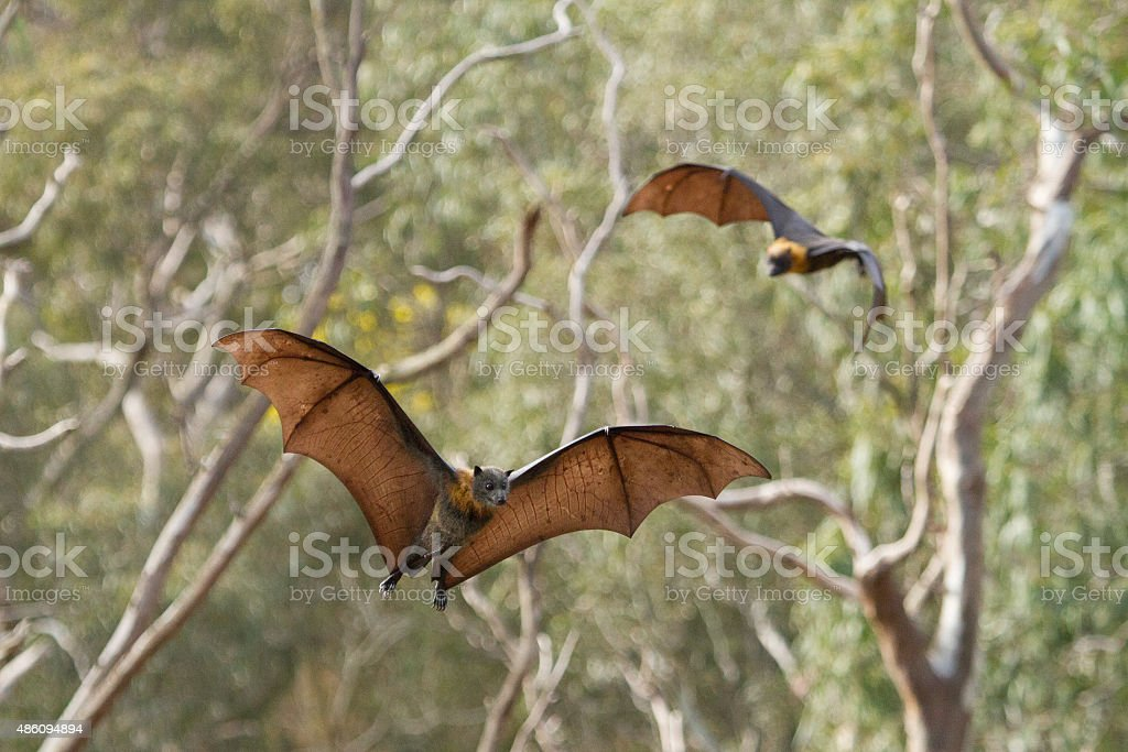 Fruit Bats Flying Together stock photo
