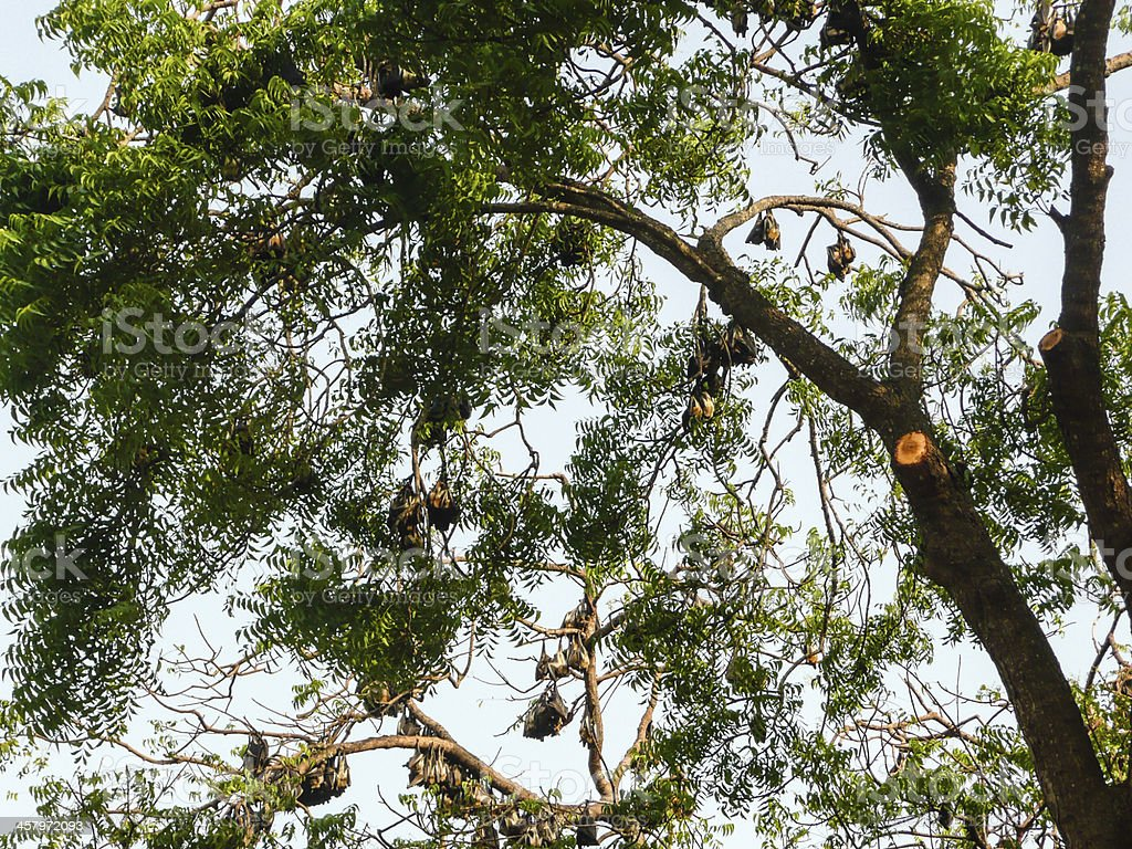 Fruit Bats hanging from a Tree in Accra Ghana stock photo