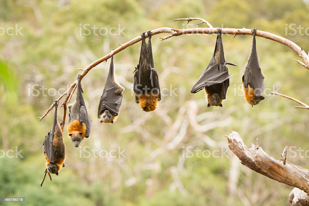 Fruit Bats Hanging From a Tree stock photo