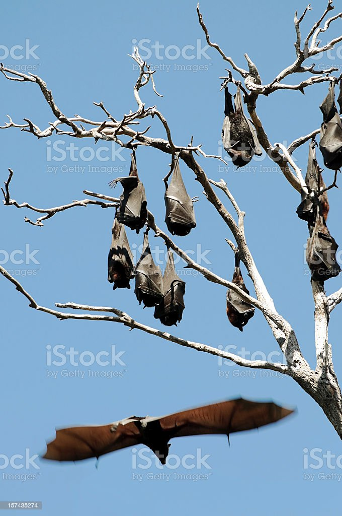 Fruit Bats hanging from Tree royalty-free stock photo