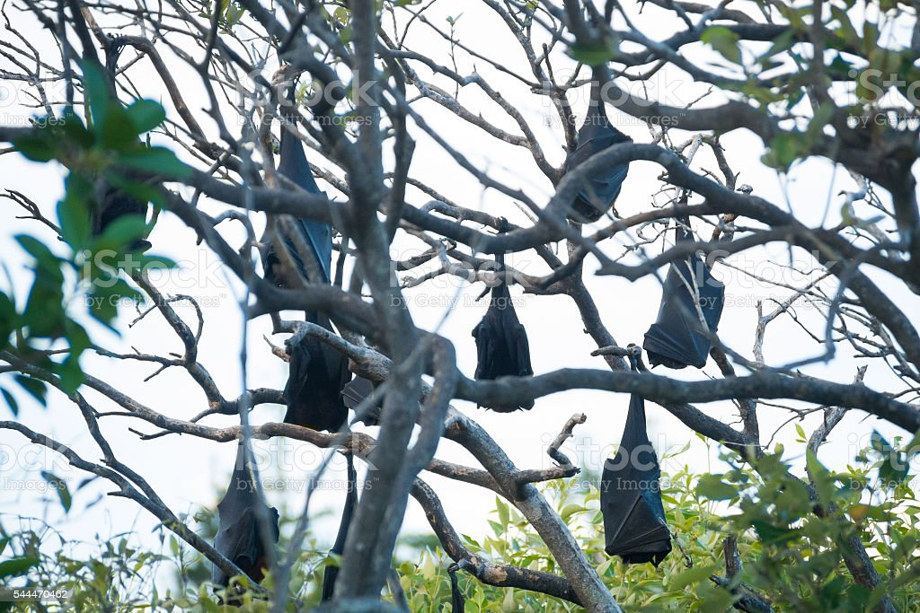 Fruit bats hanging from trees stock photo