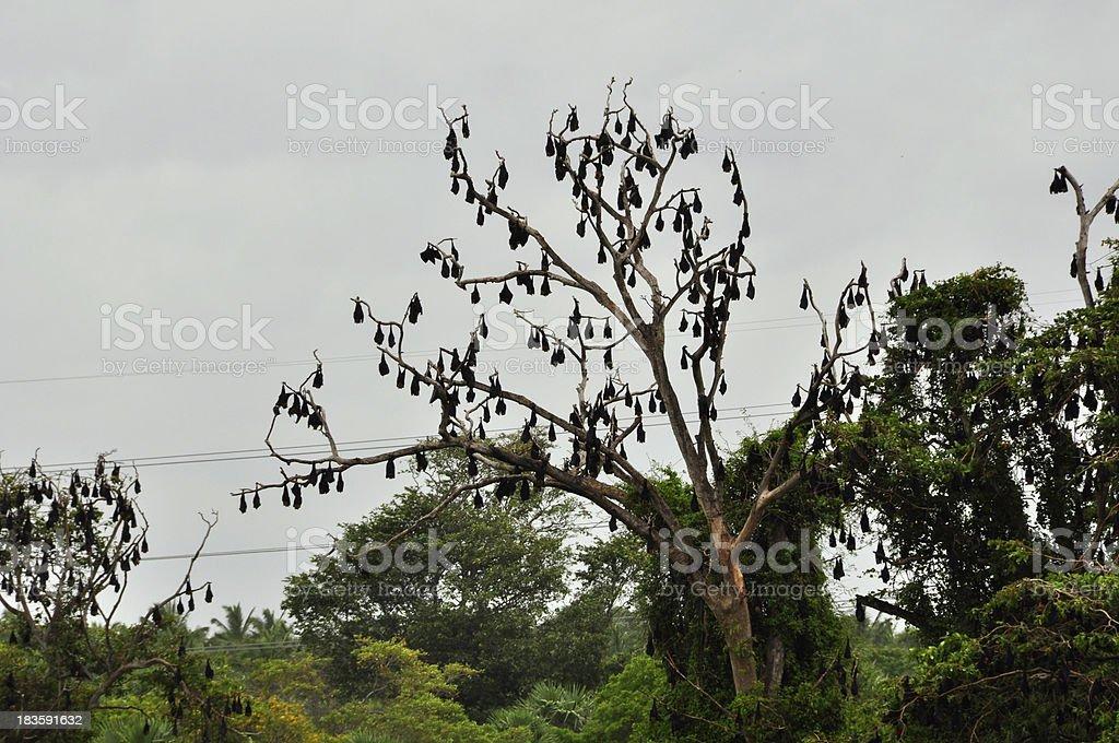 Fruit Bats (Fam; Pteropodidae) stock photo