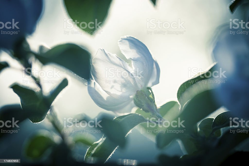 fruit blossom in spring royalty-free stock photo