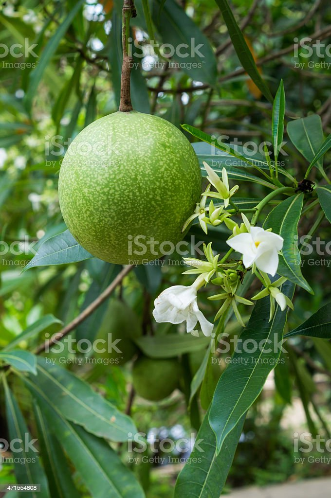 Fruit by suicide tree stock photo