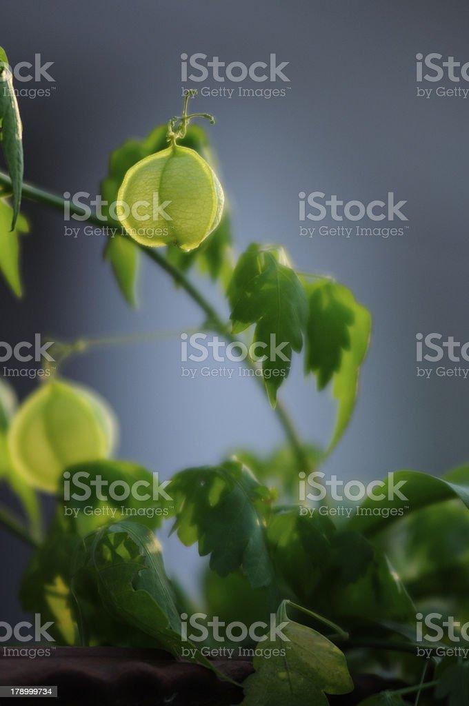 Fruit Creeper blue background royalty-free stock photo