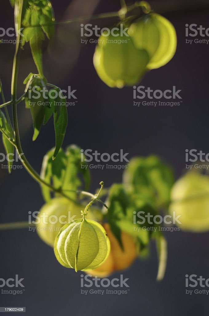 Fruit Creeper vertical royalty-free stock photo