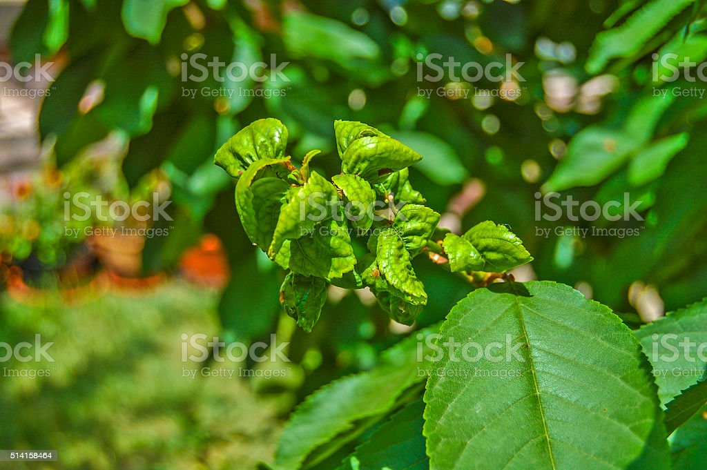 Fruit diseased leaves stock photo
