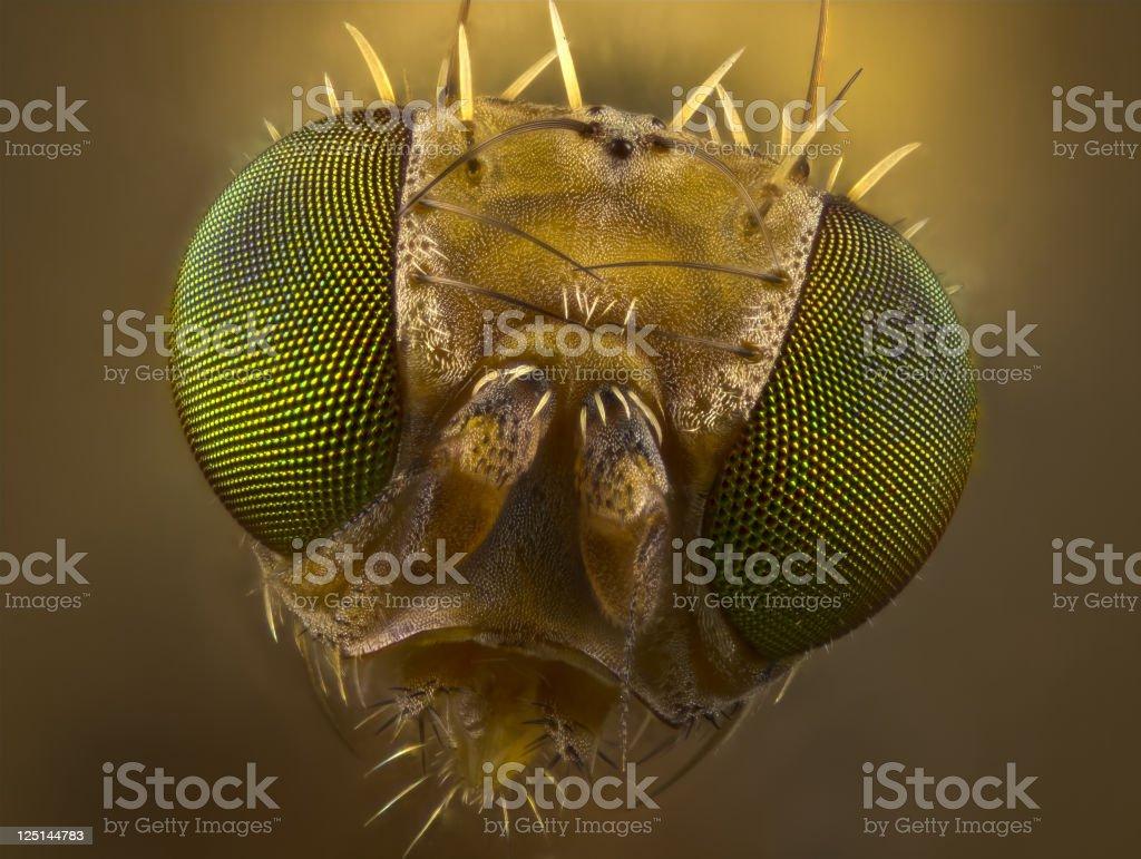 Fruit Fly portrait stock photo