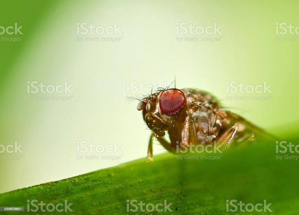 Fruit fly red eye extreme large stock photo