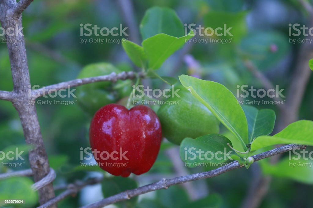 Fruit - Focus on Malpighia glabra (acerola cherry), tropical fruit stock photo