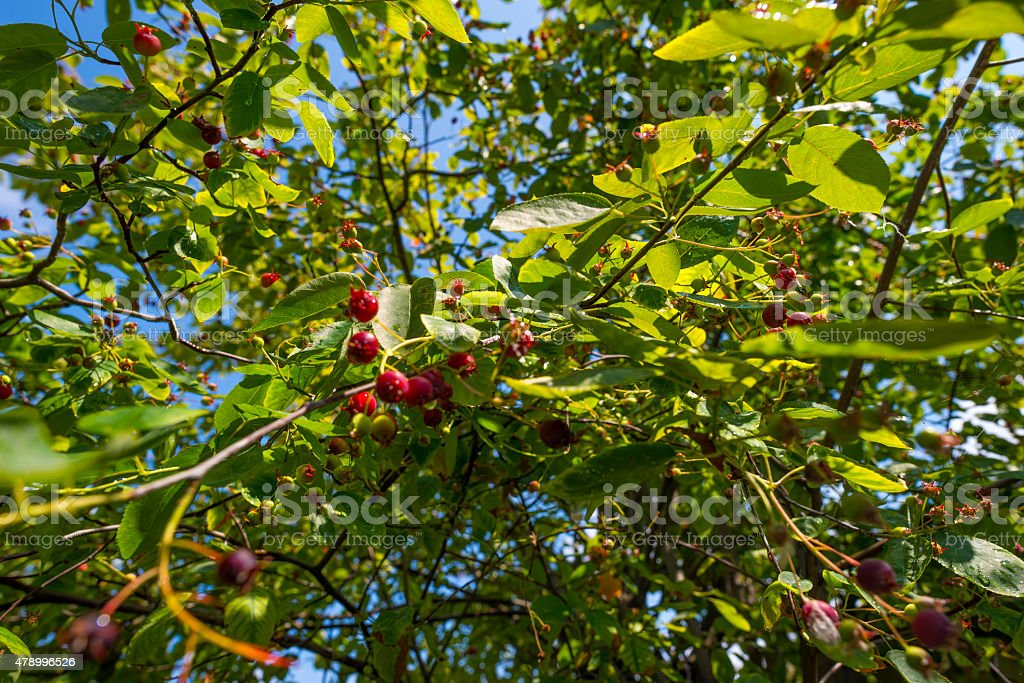 Fruit growing on a tree in sunlight in summer stock photo