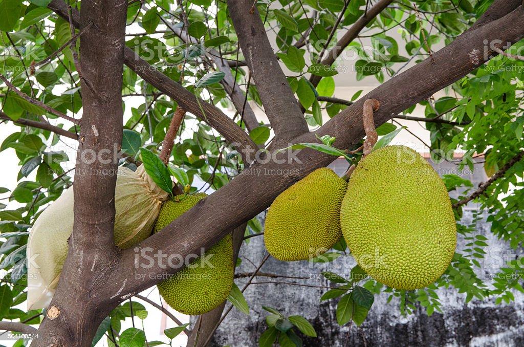 Fruit in Thailand named Jack stock photo