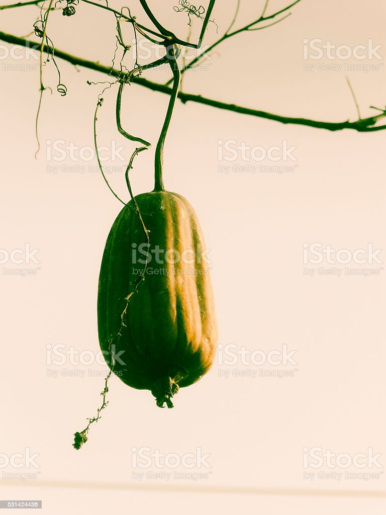 Fruit of a Sponge Gourd, Luffa cylindrica on plant stock photo