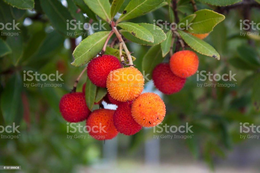 Fruit of a strawberry tree (Arbutus Unedo) stock photo