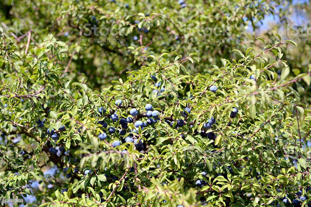 fruit of Blackthorn (Prunus spinosa) stock photo