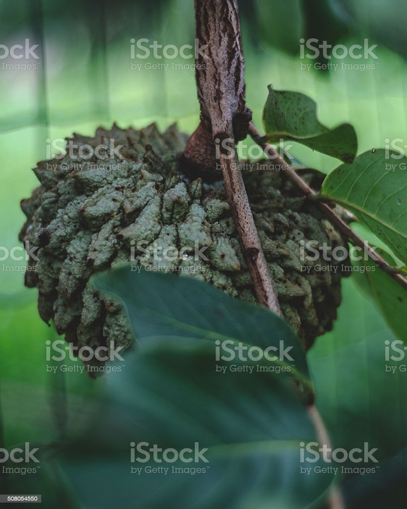 Fruit of cerrado stock photo