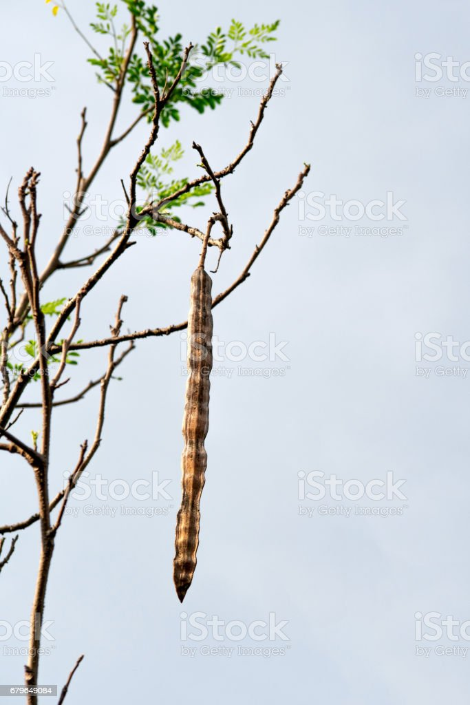 Fruit of Horse radish or Drumstick (Moringa oleifera Lam) stock photo
