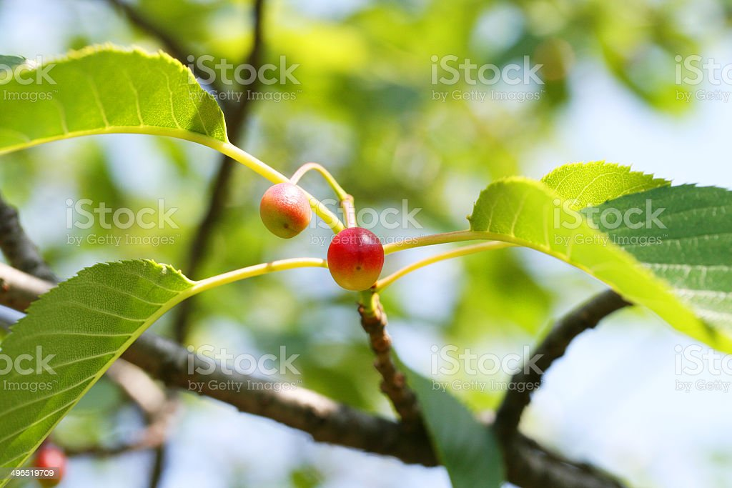 Fruit of Japanese Oshima cherry stock photo