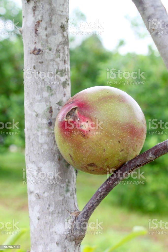 fruit of suicide tree stock photo