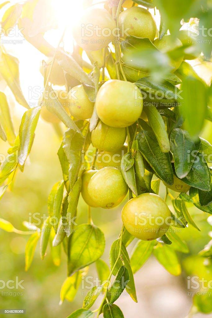Fruit of the jujube tree stock photo