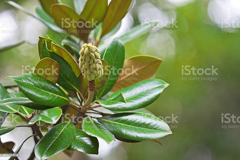 Fruit of the Magnolia grandiflora stock photo