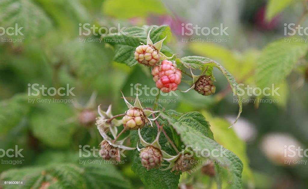Frutas de frambuesa foto de stock libre de derechos