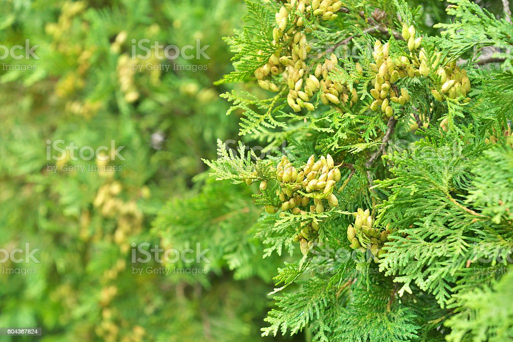 Fruit of the thuja occidentalis stock photo