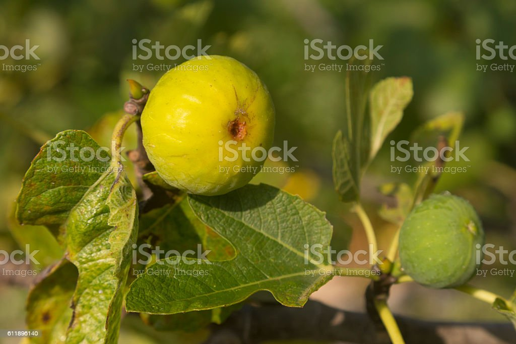 Fruit on a fig tree stock photo