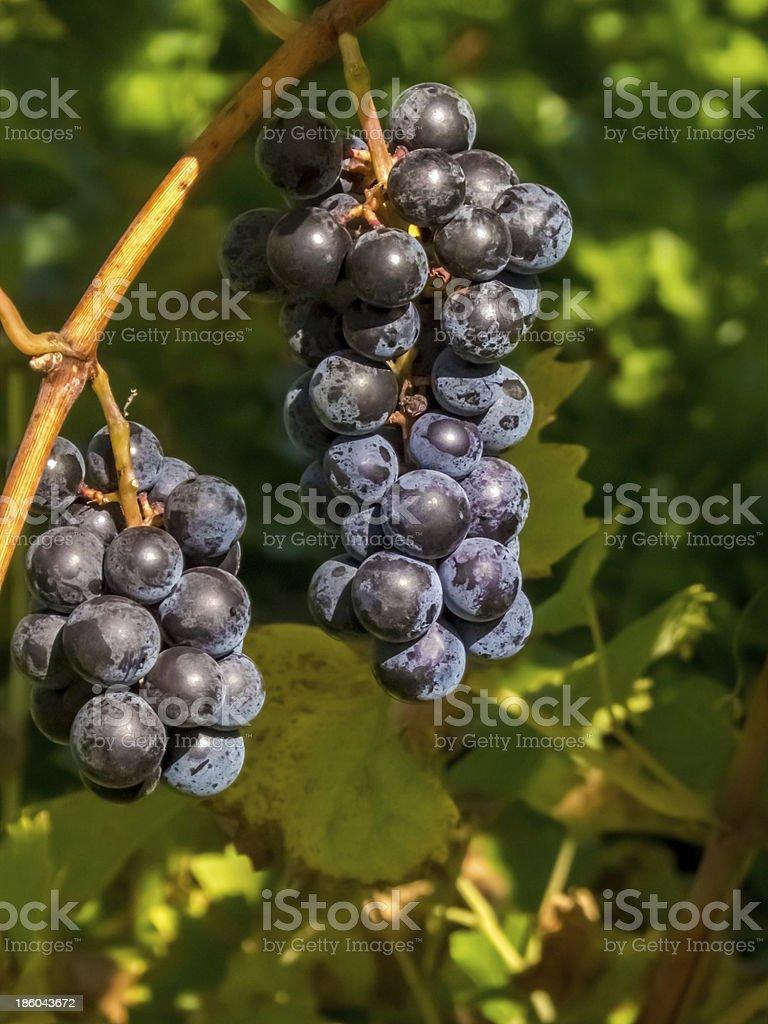 Fruit on the Vine stock photo