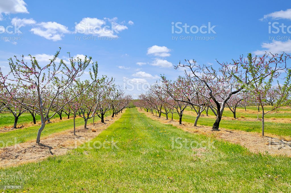 Fruit orchard in spring stock photo