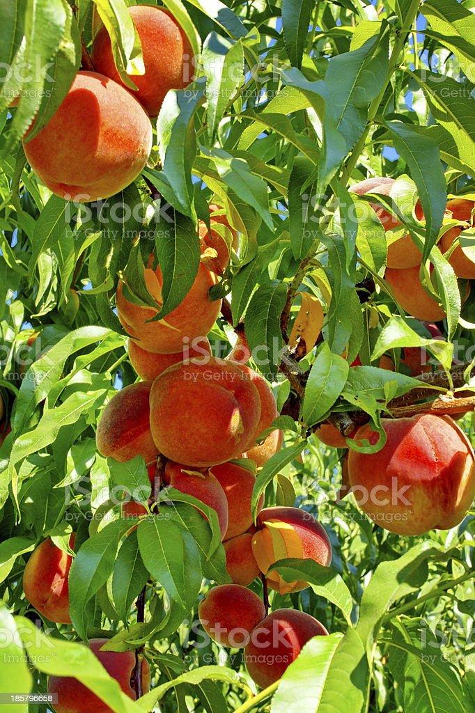 Fruit orchard. Peach tree. royalty-free stock photo