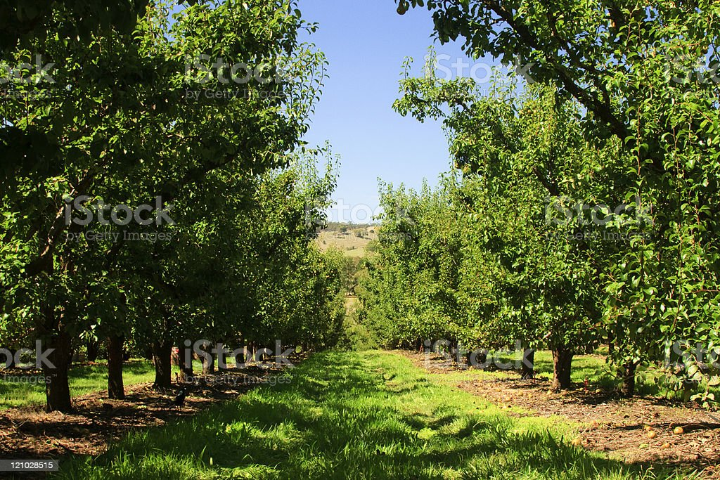 Fruit Orchard stock photo
