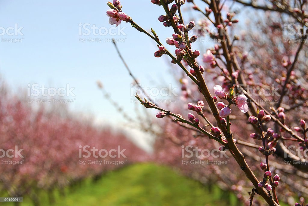 Fruit orchard royalty-free stock photo