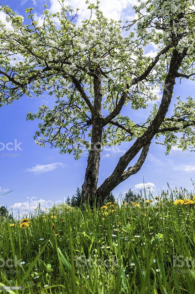 Fruit tree against blue sky. Spring in Southern Germany stock photo
