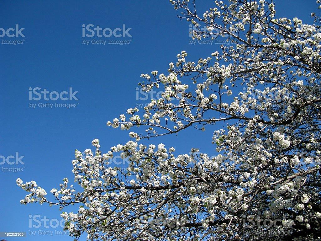 Fruit tree bloossom stock photo
