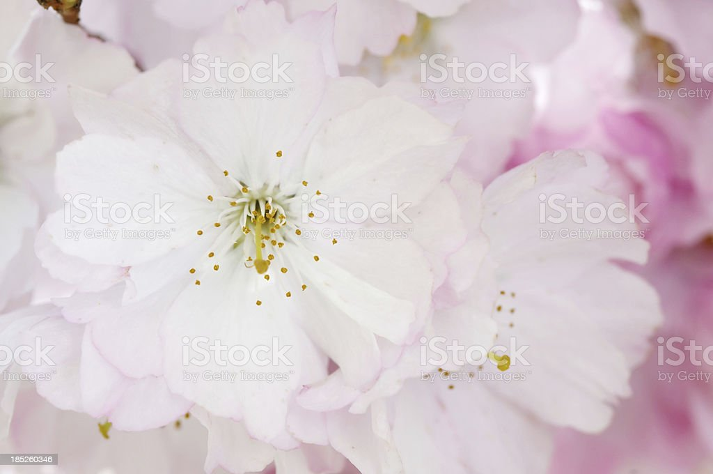 Fruit Tree Flower royalty-free stock photo