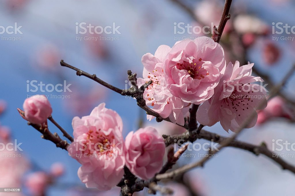 Fruit Tree - Flowering in Spring 2 royalty-free stock photo