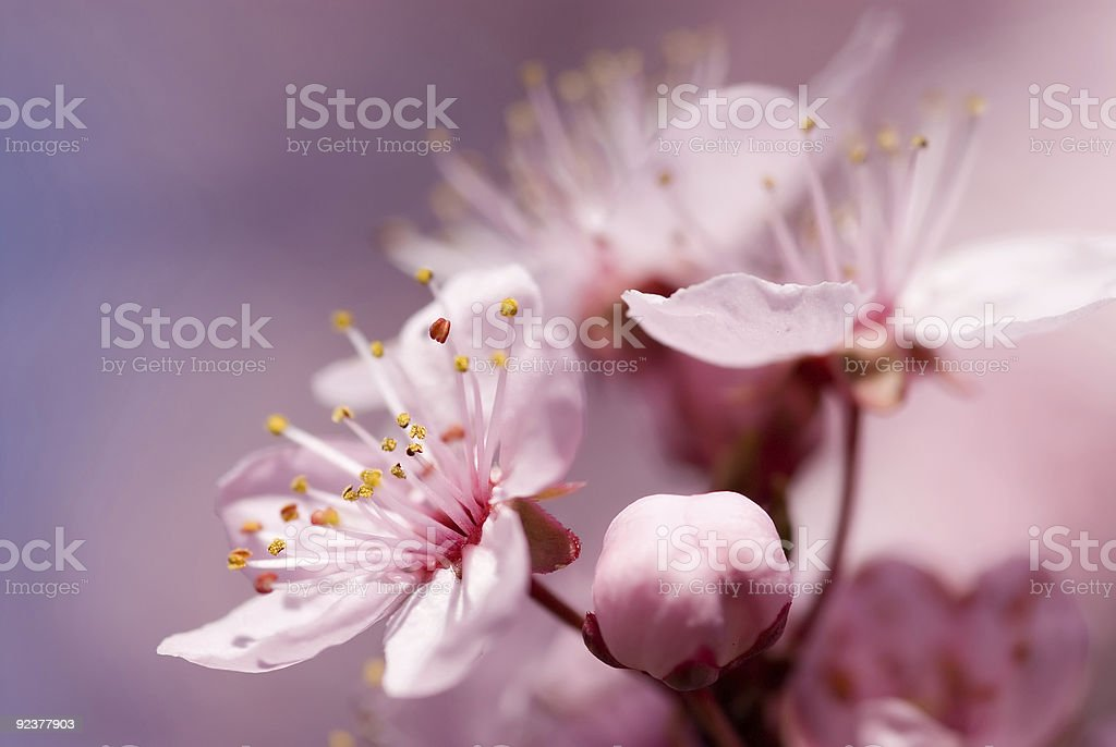 Fruit Tree - Flowering in Spring royalty-free stock photo
