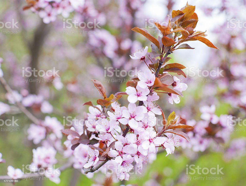 Fruit tree in blossom royalty-free stock photo