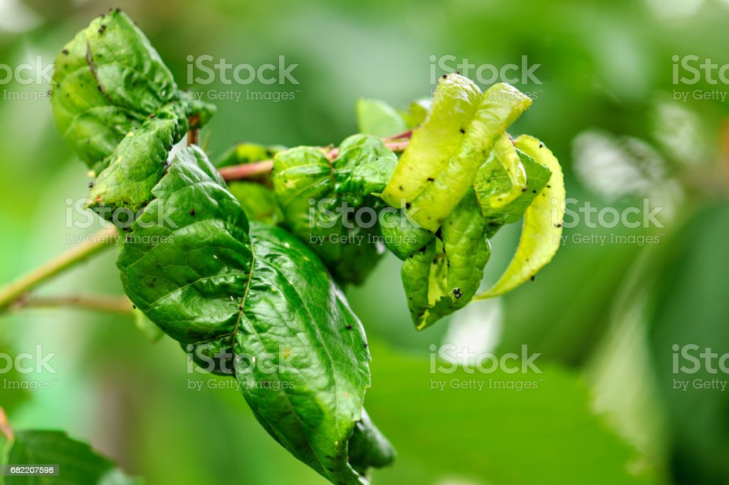 Fruit tree leaves are damaged by insects. stock photo
