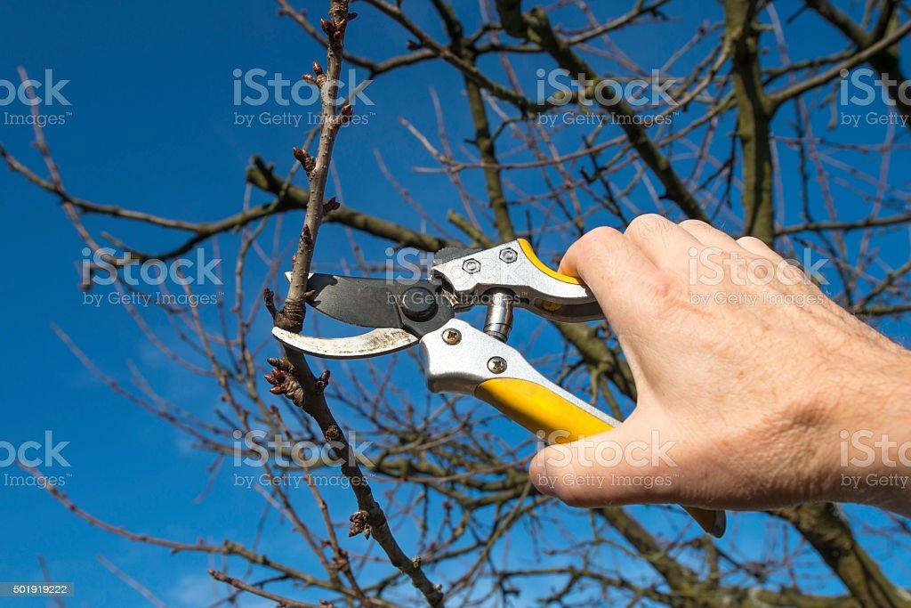 Fruit tree pruning - Pruning Shears stock photo