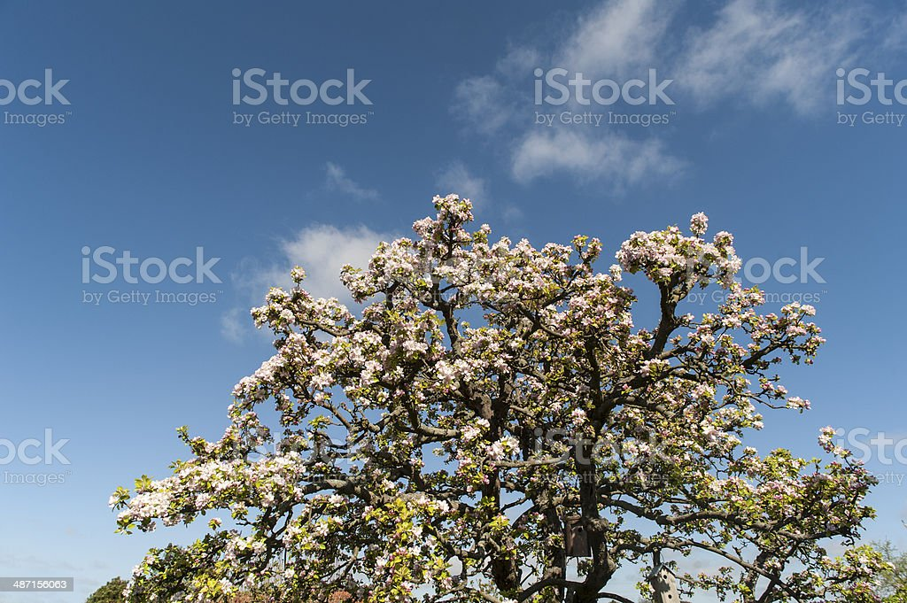 Fruit tree with pink blossoms stock photo