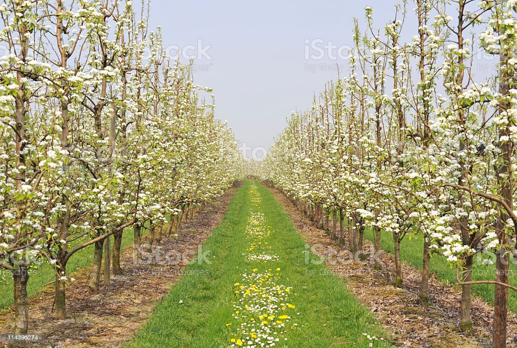 Fruit trees beginning to bloom in Haspengouw,Belgium stock photo